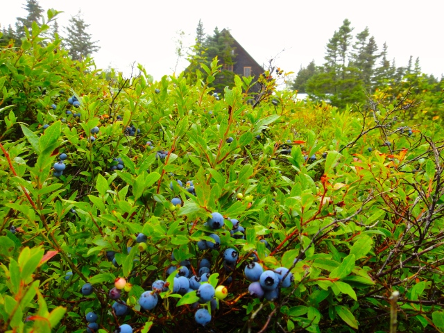 Distracted by the blueberry bonanza in my backyard.